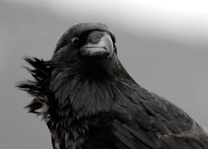 My Guy Raven photo by Sharon Grainger